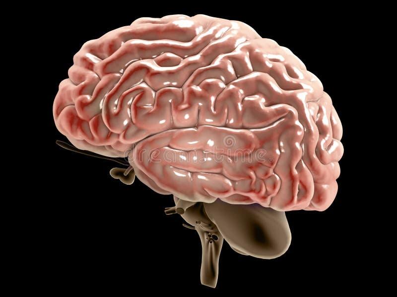 Avsnitt av en hjärna som ses i profil Degenerative sjukdomar, Parkinson, synapses, neurons, Alzheimers stock illustrationer