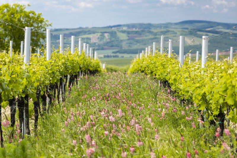 Avstånd i form av floror i ekologiska vinodlingar nära Velke Bilovice, Moravia, Tjeckien arkivbild