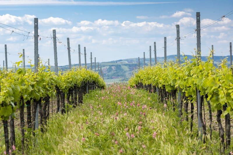 Avstånd i form av floror i ekologiska vinodlingar nära Velke Bilovice, Moravia, Tjeckien fotografering för bildbyråer
