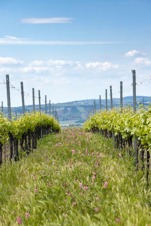 Avstånd i form av floror i ekologiska vinodlingar nära Velke Bilovice, Moravia, Tjeckien royaltyfri foto