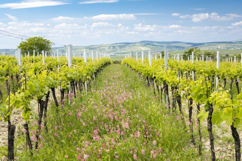Avstånd i form av floror i ekologiska vinodlingar nära Velke Bilovice, Moravia, Tjeckien royaltyfri fotografi