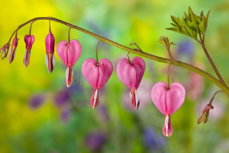 avtappning blommar hjärtapink royaltyfri foto