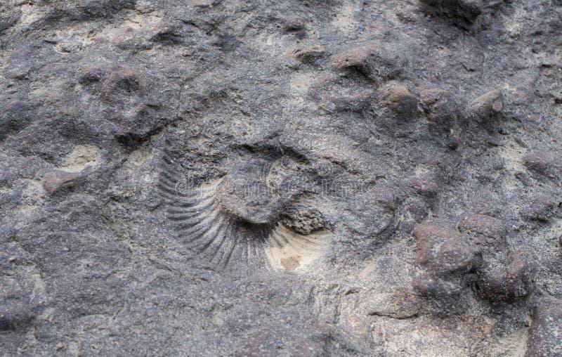 Avtrycken av ett stort skal Trycket av ammoniten på vagga royaltyfri bild