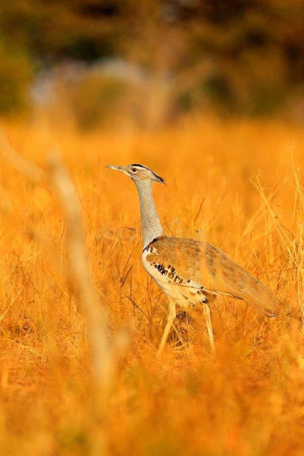 Avutarda de Kori, kori de Ardeotis, el natural más grande del pájaro de vuelo a África Pájaro en la hierba, igualando la luz, Cho imágenes de archivo libres de regalías