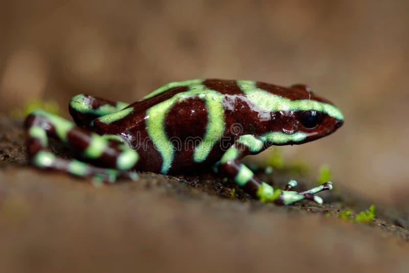 Avveleni la rana dalla foresta tropicale di Amazon, Perù Rana nera verde del dardo del veleno, auratus di Dendrobates, nell'habit immagini stock