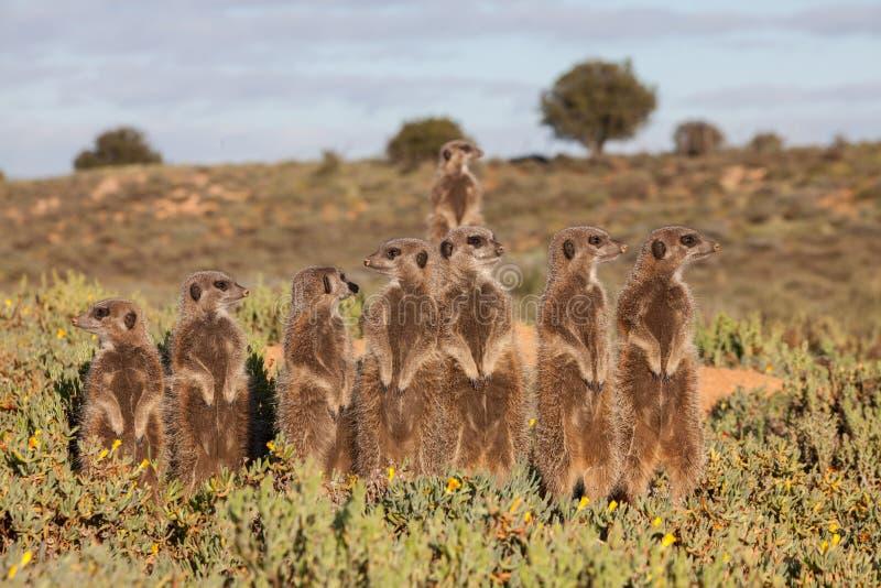 Avventure di Meerkat fotografie stock libere da diritti