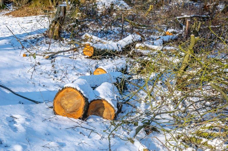 Avverkade trädstammar i skogen som täckas med snö royaltyfri bild