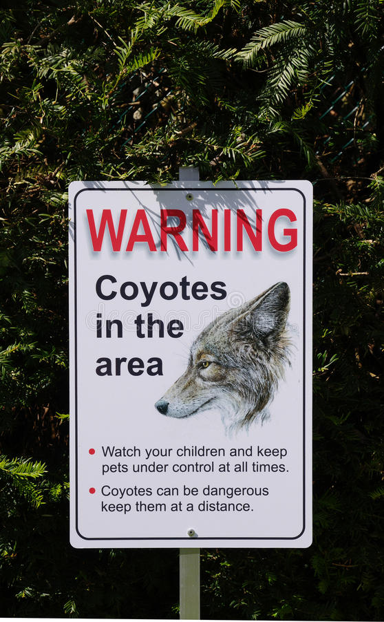 Avvertimento, coyote nell'area in parco, Canada immagini stock libere da diritti