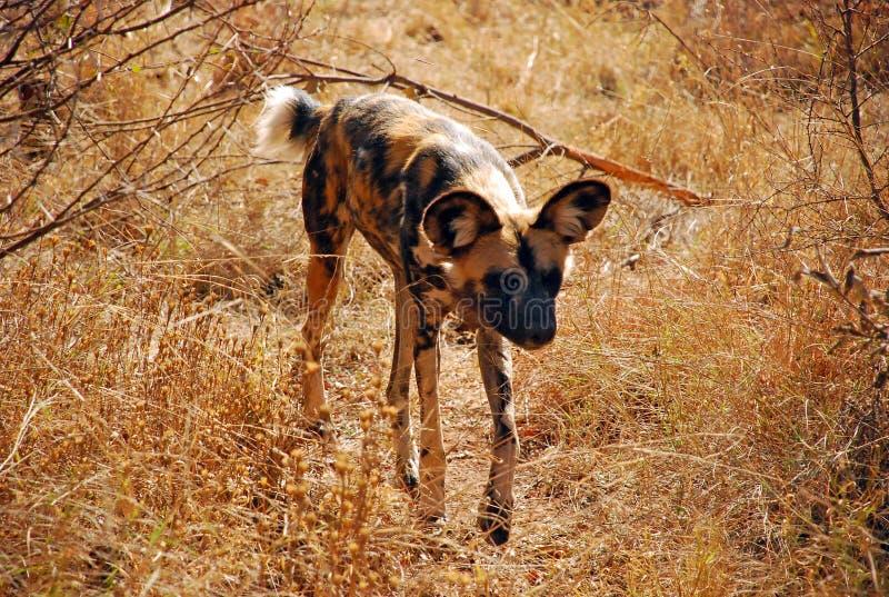 Avvicinamento africano del cane selvaggio fotografie stock
