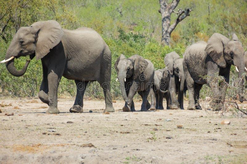 Avvicinamento del gregge dell'elefante fotografia stock