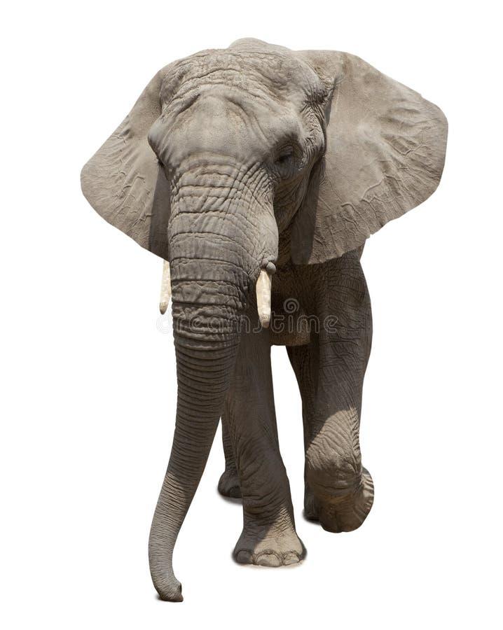 Avvicinamento dell'elefante africano immagine stock
