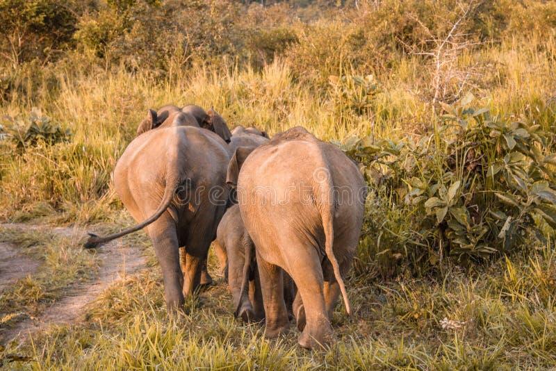 Avvikelse av lösa elefanter royaltyfria foton