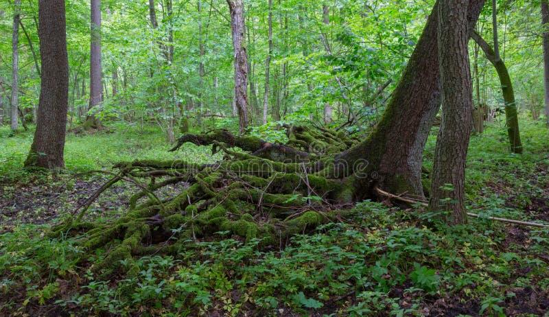 Avvolga parzialmente la caduta sopra l'albero attillato di estate fotografia stock libera da diritti