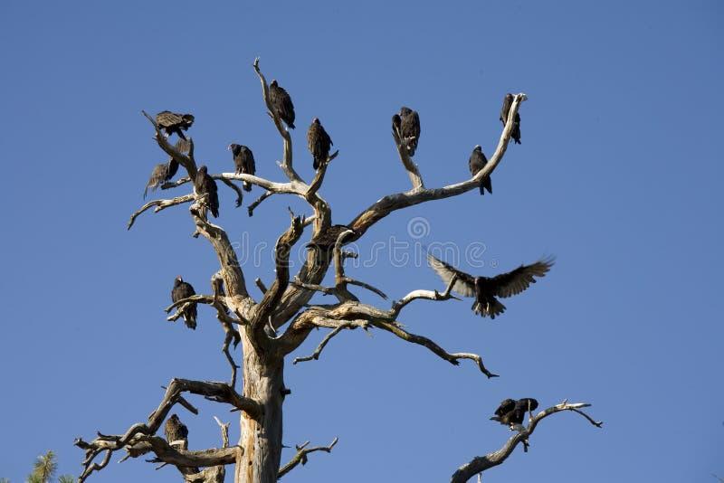 Avvoltoi della Turchia che roosting in uno strappo fotografie stock libere da diritti