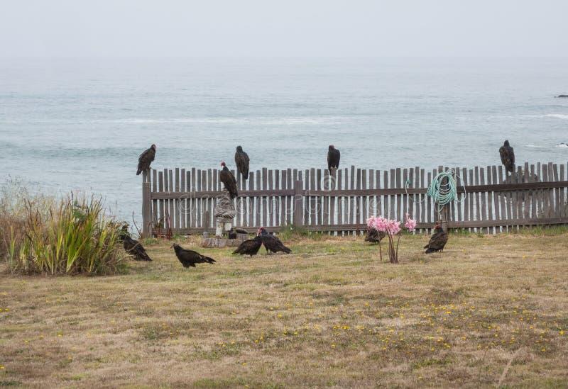 Avvoltoi di Turchia immagini stock