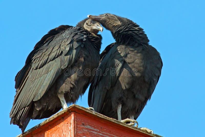 Avvoltoi neri fotografie stock libere da diritti
