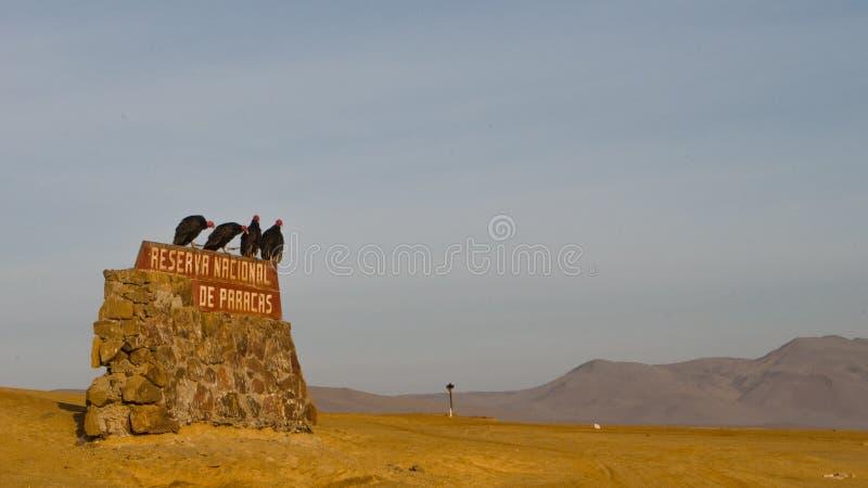 Avvoltoi peruviani che ballano alla riserva naturale di Paracas fotografia stock