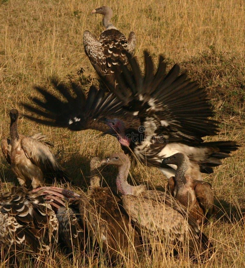 Avvoltoi Su Akill Fotografia Stock