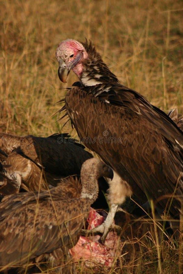 Avvoltoi su un'uccisione fotografia stock libera da diritti