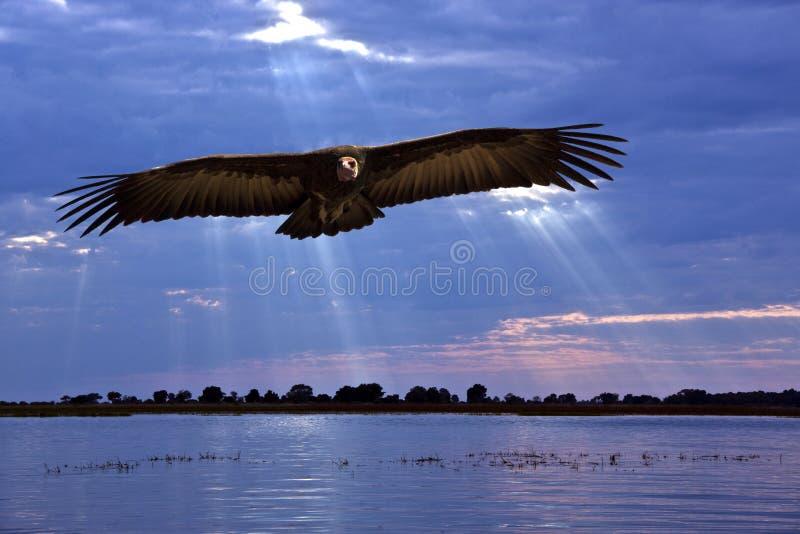 Avvoltoio africano - striscia di Caprivi - il Namibia fotografia stock libera da diritti