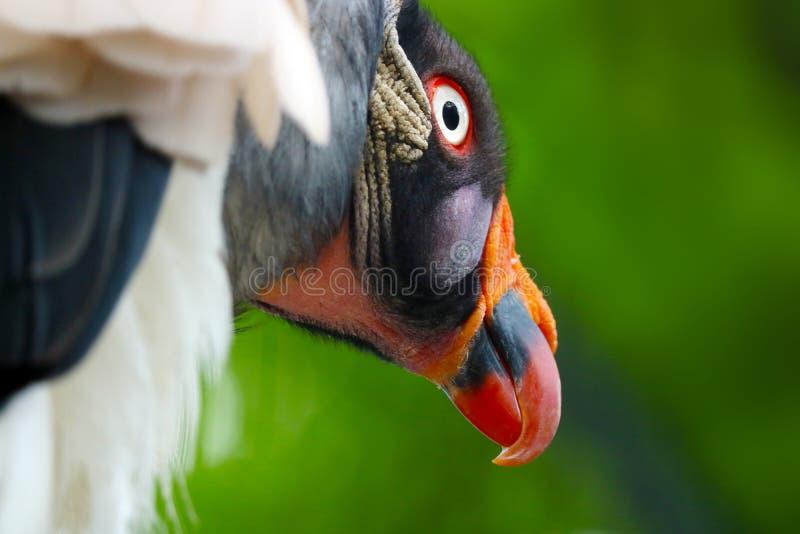 Avvoltoio appostantesi fotografia stock libera da diritti