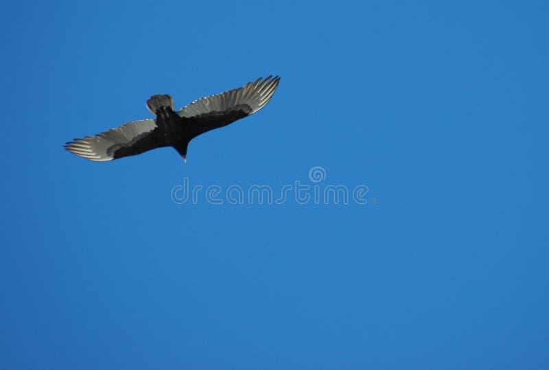 Avvoltoio in ascesa fotografia stock