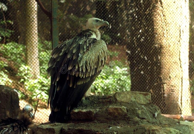 Avvoltoio asiatico - uccello selvaggio fotografia stock