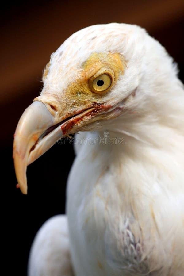 Avvoltoio bianco fotografia stock libera da diritti