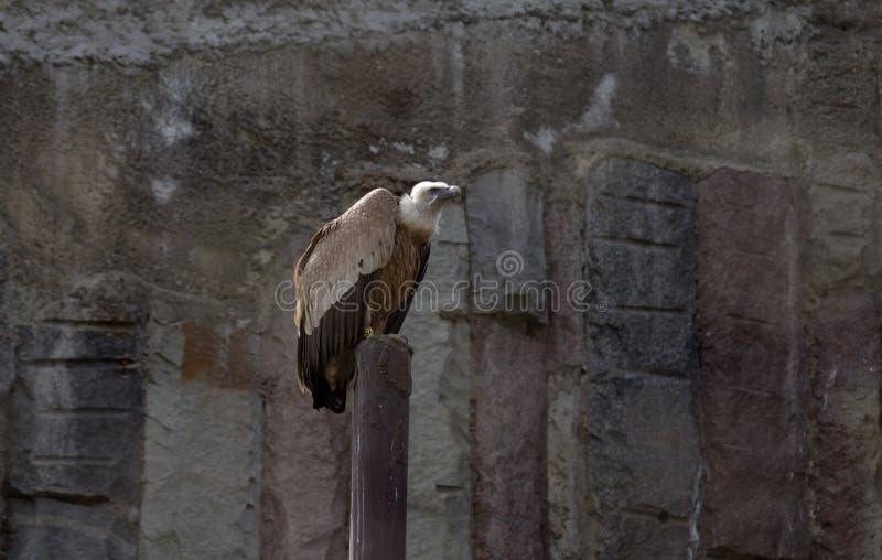 Avvoltoio che si siede nello zoo fotografia stock