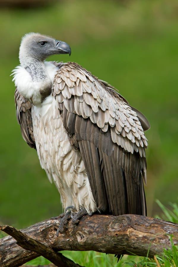 Avvoltoio dal dorso bianco immagini stock libere da diritti