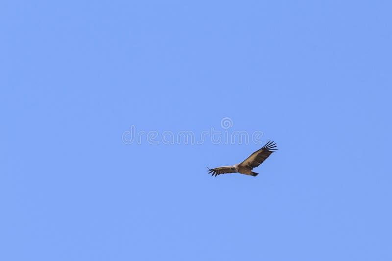 Avvoltoio dal dorso bianco fotografia stock