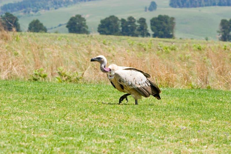 Avvoltoio dal dorso bianco su erba verde fotografia stock