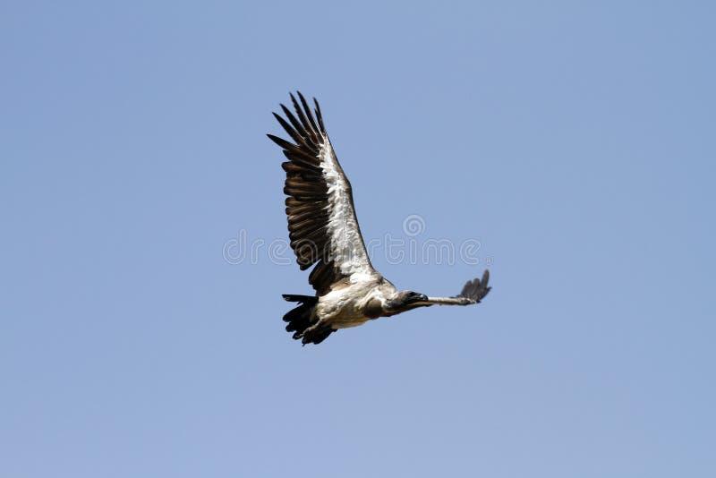 Avvoltoio dal dorso bianco volante fotografia stock