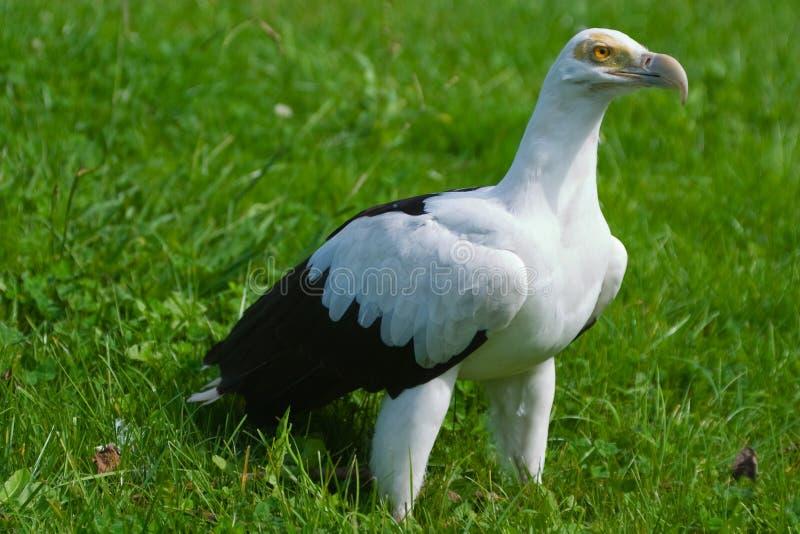 avvoltoio della Palma-noce immagini stock