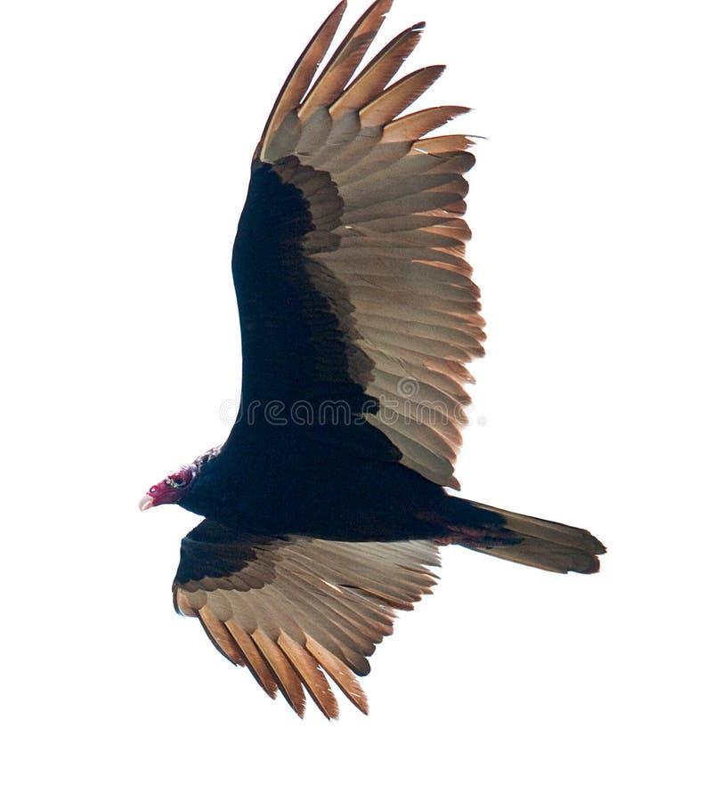 Avvoltoio della Turchia immagini stock libere da diritti