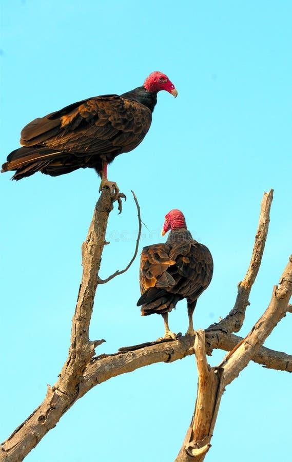 Avvoltoio della Turchia fotografie stock
