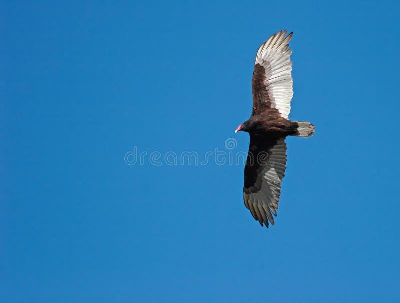 Avvoltoio della Turchia di volo fotografia stock libera da diritti