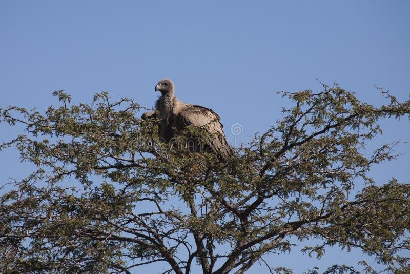 Avvoltoio di appoggio bianco che Roosting sulla cima d'albero spinosa immagini stock