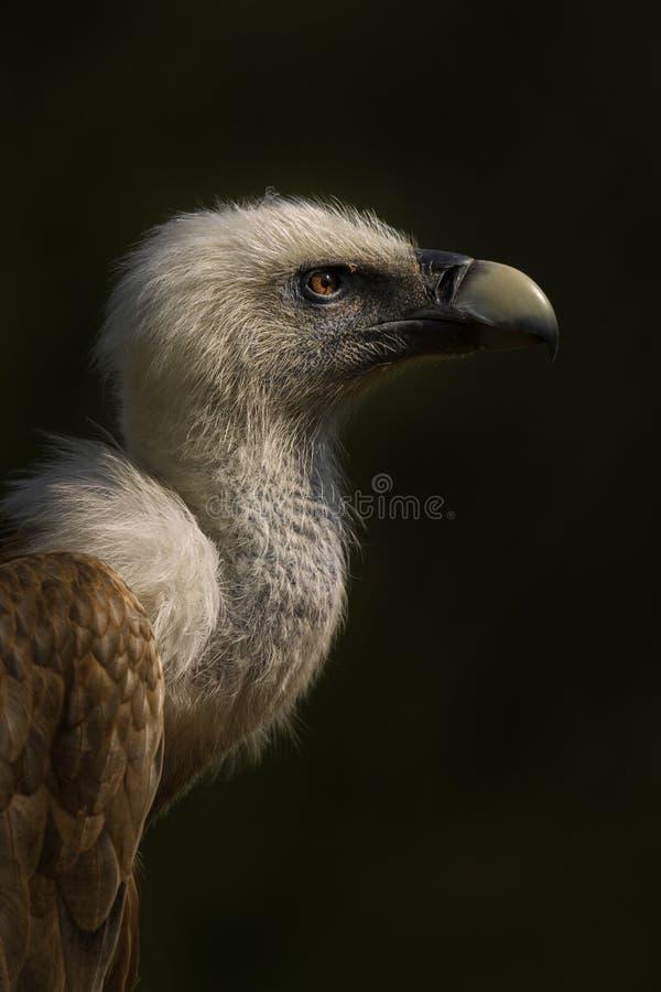 Avvoltoio di Griffon - fulvus dei Gyps immagini stock libere da diritti