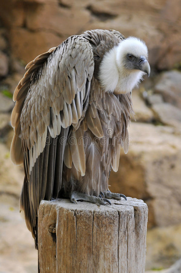 Avvoltoio di Griffon sul ceppo immagini stock libere da diritti