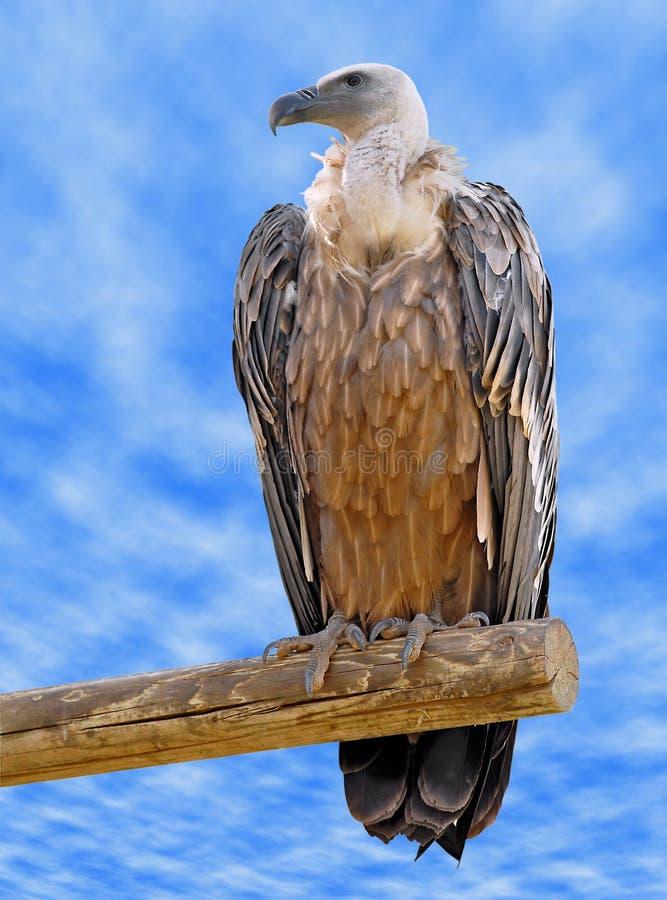 Avvoltoio di Griffon sulla filiale fotografie stock libere da diritti