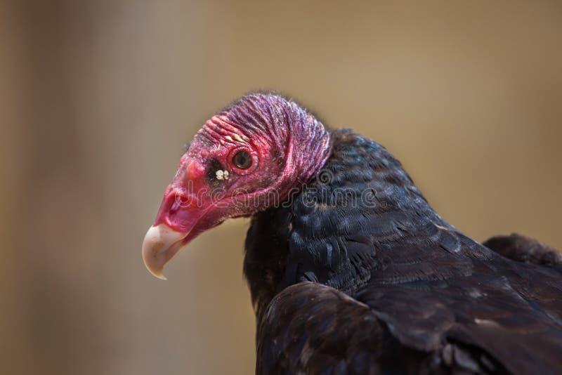 Avvoltoio di Turchia & x28; Aura& x29 del Cathartes; immagini stock