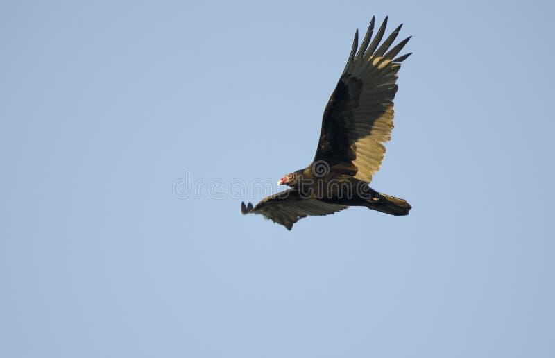 Avvoltoio di Turchia salente, Georgia, U.S.A. immagini stock