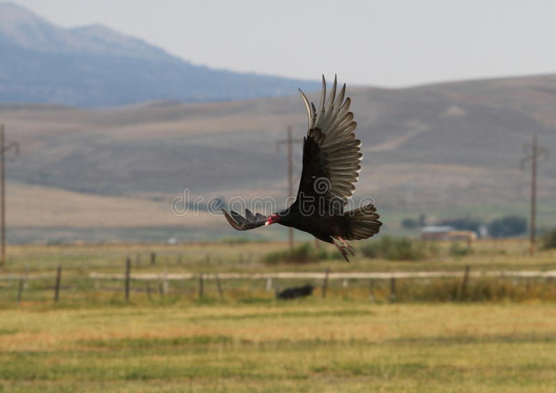 Avvoltoio di Turchia in volo immagini stock