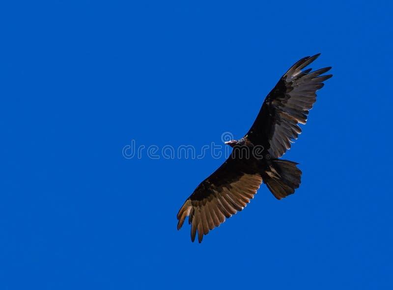 Avvoltoio di Turchia in volo immagini stock libere da diritti