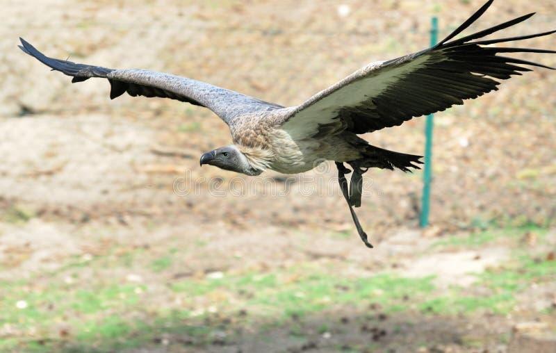 Avvoltoio di volo immagine stock