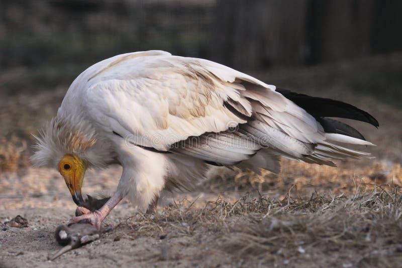 Avvoltoio egiziano fotografia stock libera da diritti