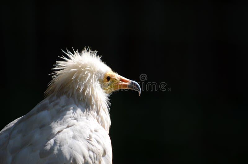 Avvoltoio egiziano (percnopterus del Neophron) immagini stock libere da diritti