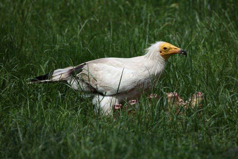 Avvoltoio egiziano (percnopterus del Neophron) fotografia stock