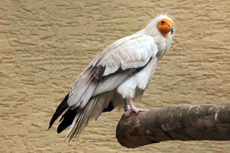 Avvoltoio egiziano (percnopterus del Neophron) fotografie stock libere da diritti